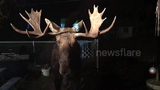 Moose on the loose! US couple greeted by massive deer in backyard - Video