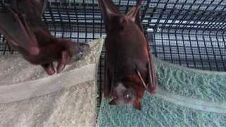 Pregnant Flying Foxes Look Ready to Burst - Video