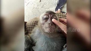 Blissed-out macaque kicks back and enjoys a head massage