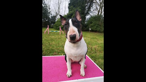 Bullterrier Tiva practicing her jumps and fronts
