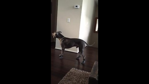Silly pit bull learns how to walk with boots