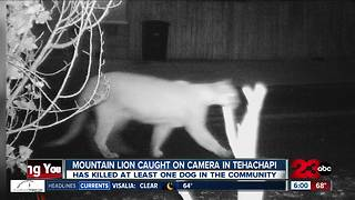 Mountain Lion Terrifying Neighborhood - Video