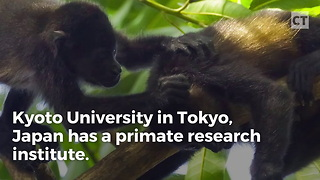 Test Monkeys Escape From Lab By Using Primitive Catapult - Video