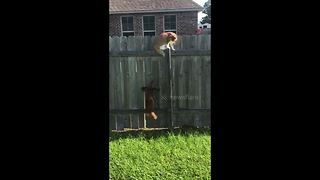 Frustrated pooch jumps in vain trying to reach cat on fence