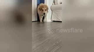 Hurricane rescue dog Max conquers his fear of partially closed doors - Video