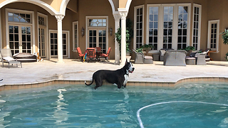 Great Dane enjoys a drink and a stroll in the pool