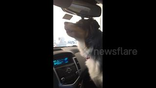 Dog mistakes pup printed on vehicle door for a new canine friend - Video