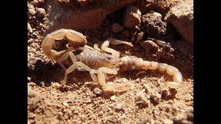 CAUTION! 4 Types of scorpions crawling around the Valley - ABC15 Digital