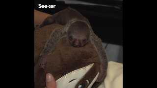 Meet an Adorable Newborn Sloth - Video