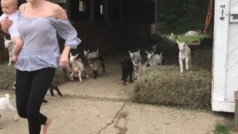 Dozens of Young Goats Run Towards Bed at Day's End