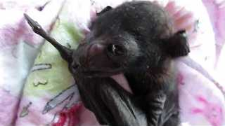 Newborn Baby Bat is Rescued and Cared For - Video