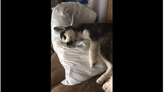 Husky puppy caught cuddling baby clothes - Video