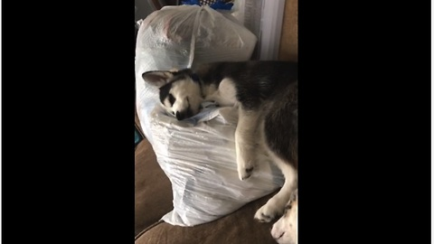 Husky puppy caught cuddling baby clothes
