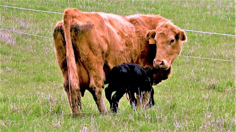 Newborn calf takes first clumsy steps to get milk from his mother