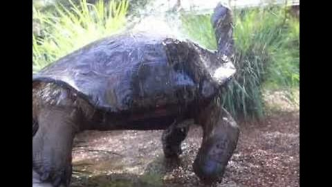 Single and Ready To Mingle: Hugo the Tortoise Has Real Sex Appeal in Steamy Shower Video