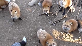 Incredible glimpse inside Japan's fox village where visitors can stroke and pet the animals - Video
