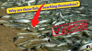 Why Are These Fish Beaching Themselves? Grunion Run