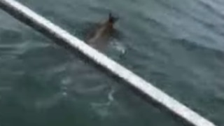 Family Rescues Drowning Fawn at Washington's Blomquist Beach - Video