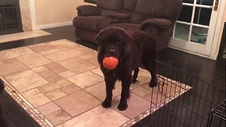 Newfoundland puppy steals little girl's pumpkin - Video