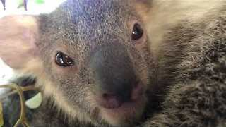 Baby Koala Says Hi on Threatened Species Day - Video