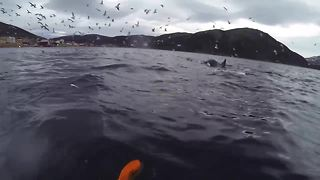 Kayakers Find Themselves In Midst Of Orca Feeding Frenzy