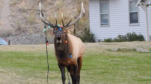 Elk gets antlers tangled with Christmas lights