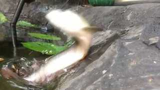 Arowana Fish Makes Impressive Jump for Food - Video