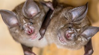 Backed By Steve Bannon, Virologists Make Batty Claim COVID-19 Is A Global Conspiracy