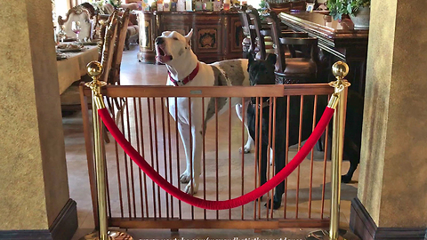 Funny Great Dane Complains About New Dog Gate for his Sister