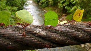 Leafcutter ants cross bridge in Amazon rainforest of Ecuador