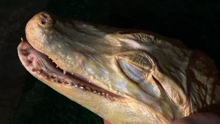 Acupuncture For Albino Alligator - Video