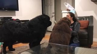 Newfoundland gets jealous of sibling, goes on the attack - Video