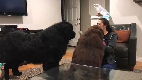 Newfoundland Is Green With Envy Watching Sibling Being Brushed