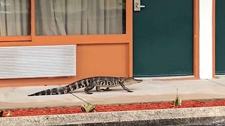 Unwelcome guest: Alligator filmed on casual stroll through hotel in Florida  - Video