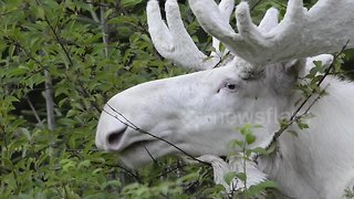Rare footage of stunning white moose shot in Sweden