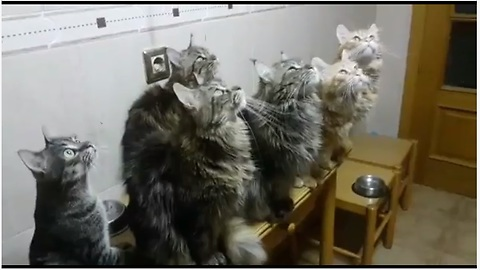 Maine Coons Captivated By Indoor Insect, Can't Stop Chirping