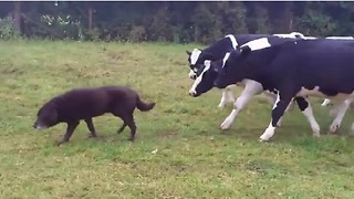 Curious cows follow dog all around field - Video