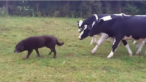 Curious cows follow dog all around field