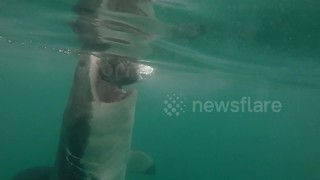 Distinctive great white chomps the bait in South Africa - Video