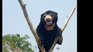 Orphaned Bear Shows Off Climbing Skills, Three Months After Rescue