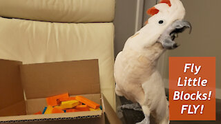Fling! Cockatoo Throws Wooden Toy Blocks