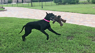 Big Decision for a Little Great Dane ~ Which Toy to Play With?  - Video