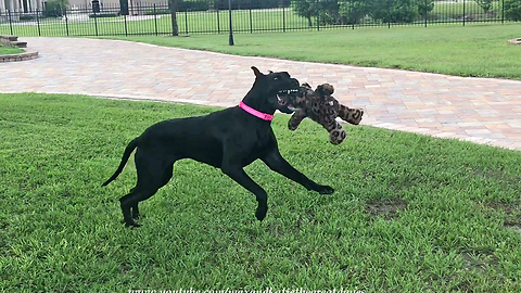 Big Decision for a Little Great Dane ~ Which Toy to Play With?