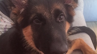 Puppy makes it clear he wants owner to play with him - Video