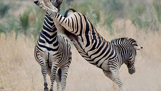 """Earning their stripes: Parched zebra come to blows over watering hole"