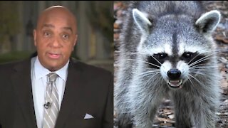 CNN Reporter Fights Off A Raccoon During Live Broadcast