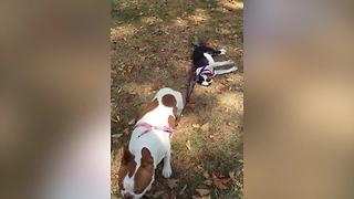 Dog Drags His Lazy Canine Friend By Leash - Video