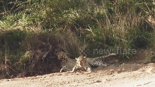 Needy female leopard spotted annoying her mate