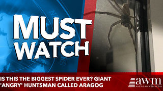 Is this the biggest spider EVER? Giant 'angry' huntsman called Aragog - Video