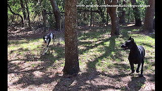 Amazing Great Danes Love To Chase And Race and Chase